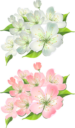 blossoming: Blossoming branch of apple tree. Two variants of color