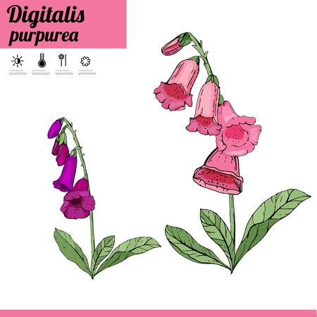 Digitalis flower isolate on white