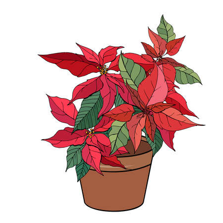 Exotic plant poinsettia isolated on white background. Tipical room plant grown indoors for home decoration. 向量圖像