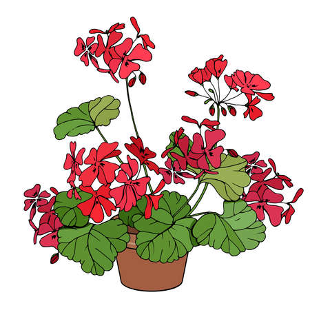 Plant pelargonium isolated on white background. Room flower for home decoration.