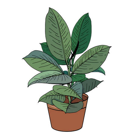 Exotic plant ficus isolated on white background. Tipical room plant grown indoors for home decoration.