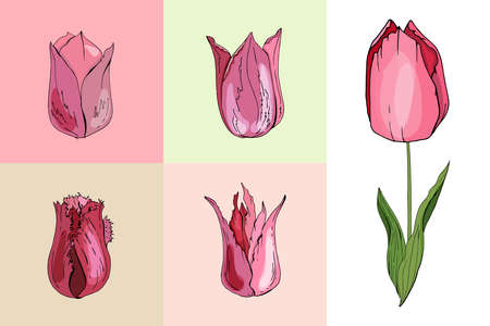 Set with different tulips. Various sorts and shapes Ilustração