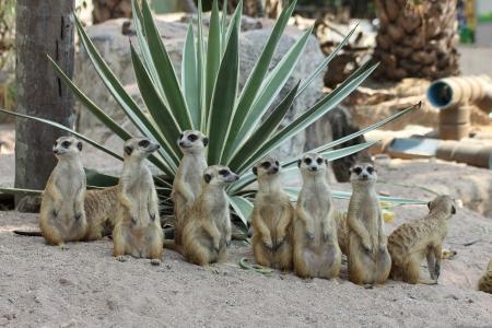 Familie van Meerkats Stockfoto - 25305555