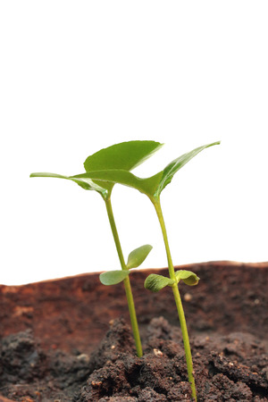 emerge: Green sprout growing from ground, isolated on white background. Stock Photo