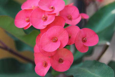 Red flower, Euphorbia milii Stock Photo