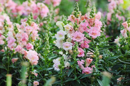 snapdragon: Pink snapdragons (Antirrhinum majus) in garden. Stock Photo