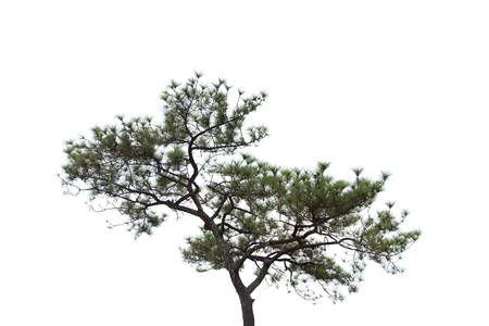 Pine-tree isolated on white background. Stock Photo