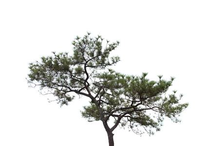 pinetree: Pine-tree isolated on white background. Stock Photo