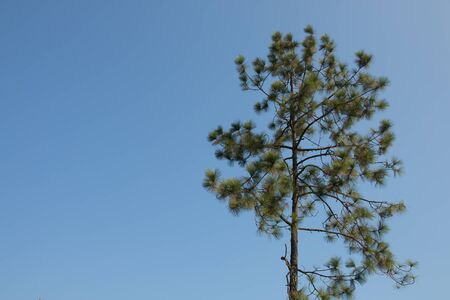 pinetree: Pine-tree against the blue sky.