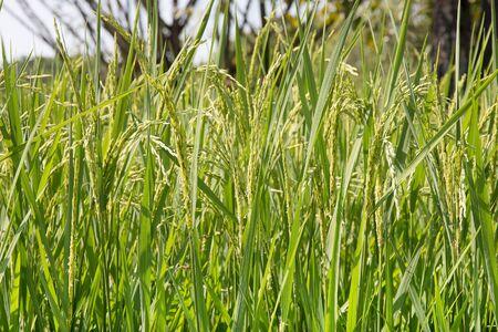 farmland: Rice field in farmland. Stock Photo