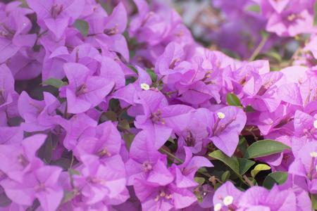 color bougainvillea: Bougainvillea flower in the garden.