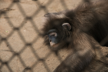 cage gorilla: monkey sleeping in a cage. Stock Photo