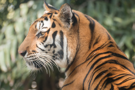 Tiger, of a bengal tiger.
