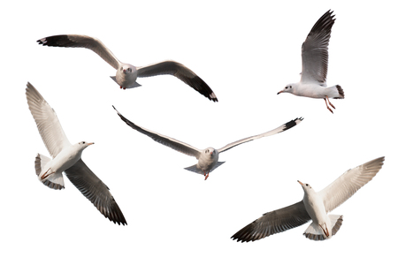 seagull: set of seagulls isolated on white background.