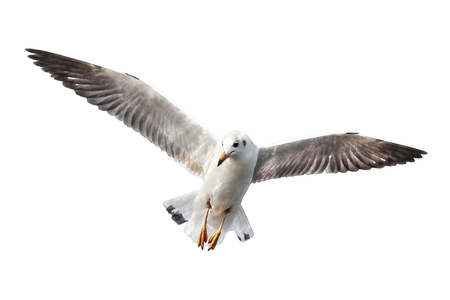 watercolor of seagull flying isolated on white background Stock Photo