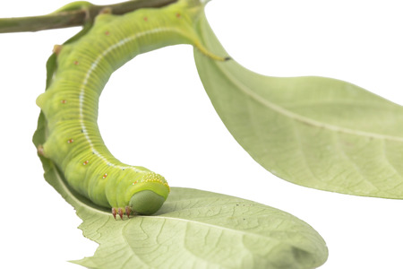 destructive: Caterpillars eat leaves isolated on white background