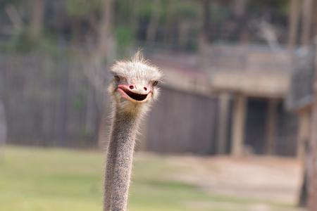 close-up a head of an ostrich