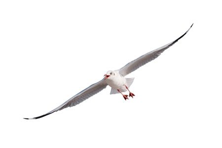 seagulls flying isolated on white background - clipping paths
