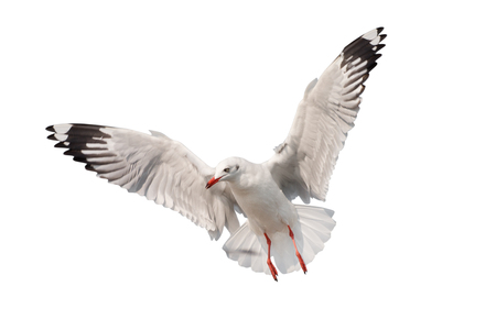 Seagull flying isolated on white background - clipping paths