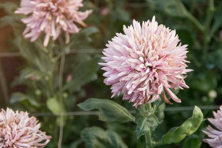 A beautiful chrysanthemum flowers in the garden.