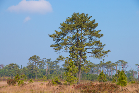 pine tree in tropical forest