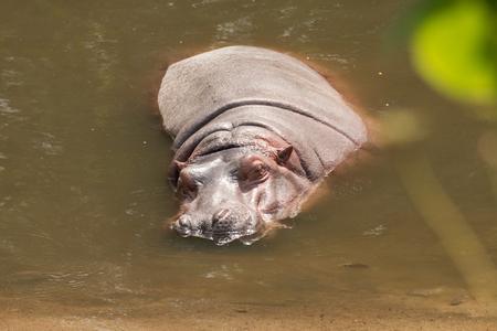 hippopotamus sleeping in the water