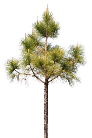 pine tree isolated on white background Stockfoto