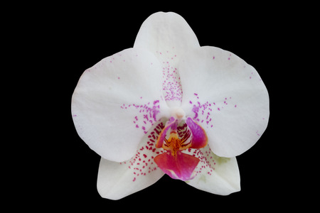 orchid flower isolated on black background - clipping paths