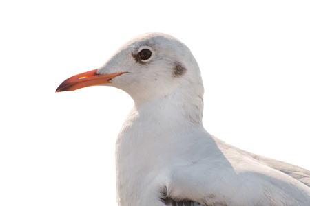 Close up of a seagull isolated on white background - clipping paths