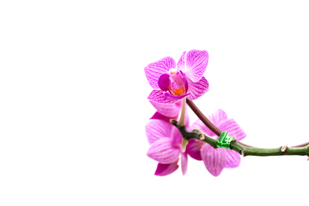Close - up of orchids flowers on white background