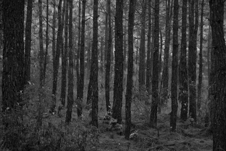 pine wood in forest - black and white tone Stockfoto