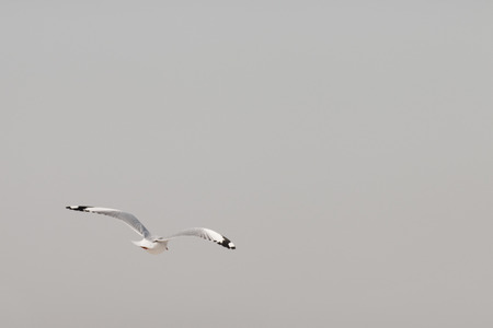 seagull flying among on the sky in evening time with free text space