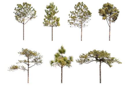 set of pine tree isolated on white background