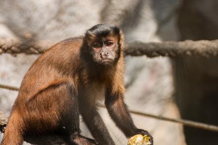 close-up of a capuchin monkey Stockfoto