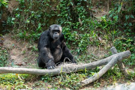 Chimpanzee sitting on a timber