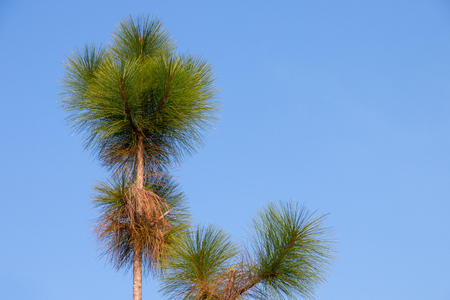 pine tree on blue sky background