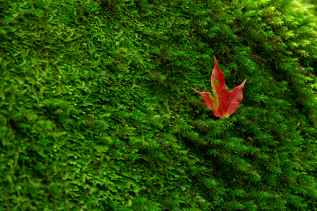maple leaf drop on green moss.