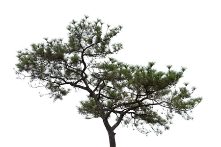 pine tree isolated on white background Stockfoto