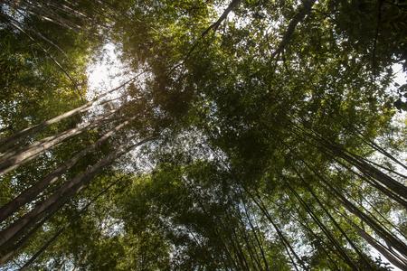 Looking up at green bamboo tree.