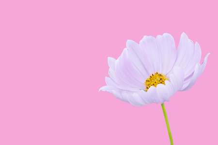 Cosmos flower isolated on pink background - clipping paths. Stockfoto - 120781981