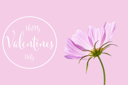 Valentines day background with cosmos flower isolated on pink background Stockfoto