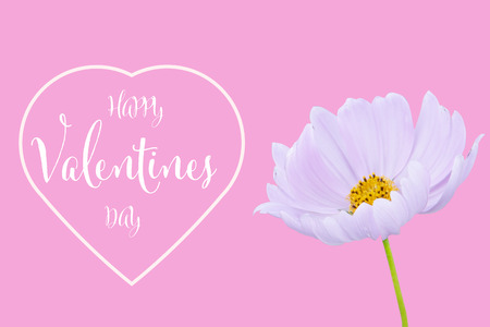 Valentines day background with cosmos flower isolated on pink background Stockfoto - 120782035