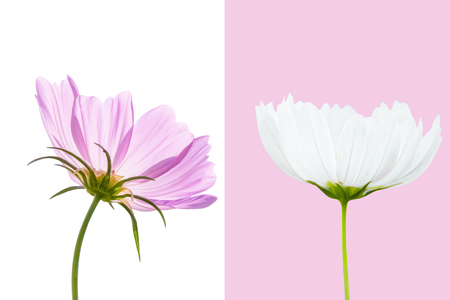 Cosmos flower isolated on pink and white background - clipping paths.
