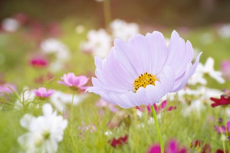 Cosmos flower in the garden Stockfoto