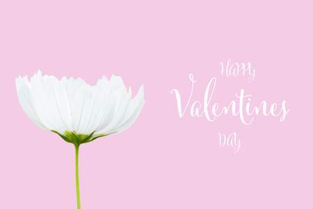 Valentines day background with white cosmos flower isolated on pink background Stockfoto - 120782050