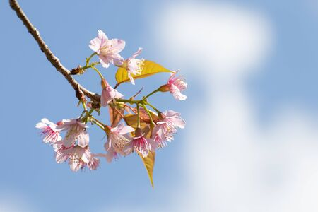 Cherry blossom flowers , sakura flowers on sky background.