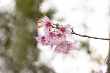 Cherry blossom flowers , sakura flowers on nature background. Stockfoto