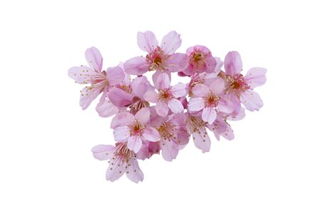 Cherry blossom flowers , sakura flowers isolated on white background - clipping paths.