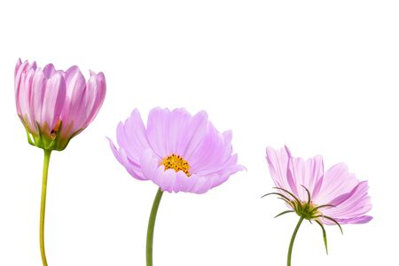 Cosmos flower isolated on white background - clipping paths Stockfoto