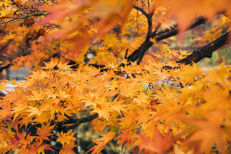Maple Tree in Autumn Japan